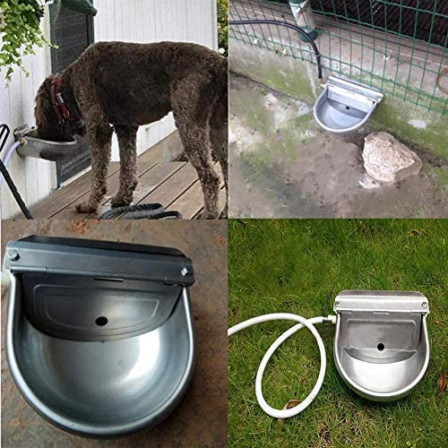 Cow drinking water bowl